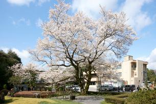 鵜飼桜 樹齢100年 エドヒガンサクラの写真素材 [FYI03988803]