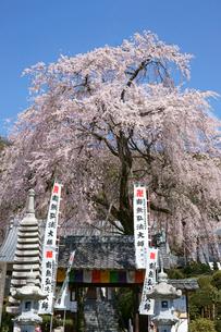 林陽寺の枝垂れ桜の写真素材 [FYI03988806]
