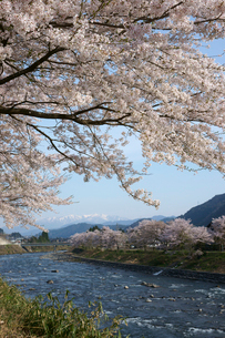 桜咲く長良川 白山を望むの写真素材 [FYI03988821]