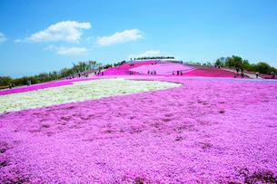 芝桜の丘 (萩太郎山)  茶臼山高原の写真素材 [FYI03988904]