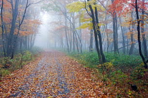 霧と紅葉 叺谷(長良川源流)への道 ひるがの高原の写真素材 [FYI03989101]