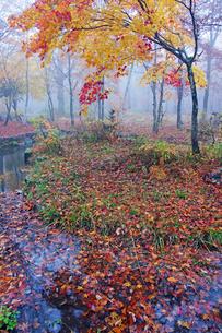 分水嶺公園の紅葉 ひるがの高原の写真素材 [FYI03989102]