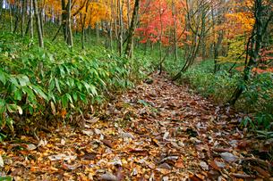 落葉と紅葉 叺谷(長良川源流)への道 ひるがの高原の写真素材 [FYI03989107]