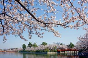 桜咲く九華公園(桑名城址)の写真素材 [FYI03989197]
