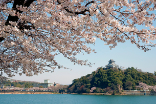 桜と犬山城 木曽川の写真素材 [FYI03989207]
