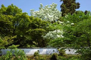 小倉山城址 ヒトツバタゴ咲く白土塀の写真素材 [FYI03989306]
