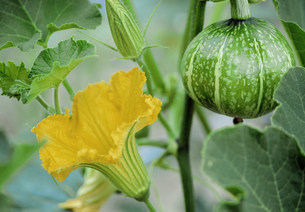 野菜の花(かぼちゃの花)の写真素材 [FYI03989615]