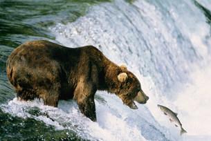 ブラウンベアと鮭 カトマイ国立公園の写真素材 [FYI03989933]