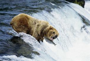 ブラウンベアと鮭 カトマイ国立公園の写真素材 [FYI03989934]