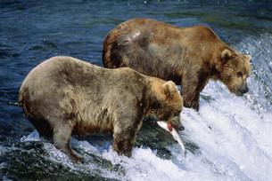 ブラウンベアと鮭 カトマイ国立公園の写真素材 [FYI03989936]