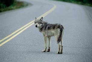 オオカミ デナリ国立公園の写真素材 [FYI03989938]