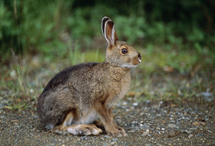 カンジキウサギ デナリ国立公園の写真素材 [FYI03990020]