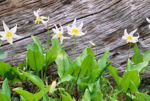 カタクリの花の写真素材 [FYI03990026]
