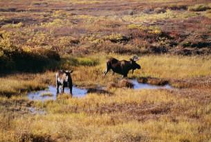 ムース 雄と雌 デナリ国立公園の写真素材 [FYI03990034]