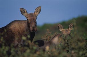 ムースの母子 デナリ国立公園の写真素材 [FYI03990051]