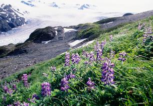 ルピナスの花と氷河キーナイの写真素材 [FYI03990061]