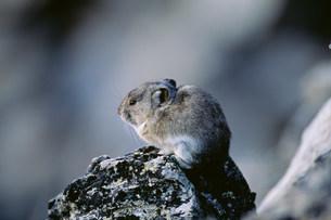 クビワナキウサギ デナリ国立公園の写真素材 [FYI03990064]