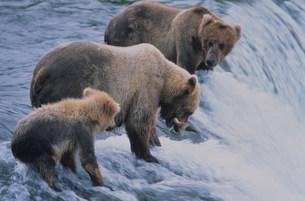 グリズリーの親子 カトマイ国立公園の写真素材 [FYI03990075]