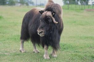 ジャコウ牛の写真素材 [FYI03990112]