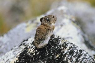 ナキウサギ デナリの写真素材 [FYI03990200]