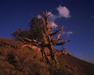 夕焼けのブリッスルコーンパイン カリフォルニア アメリカの写真素材 [FYI03990289]