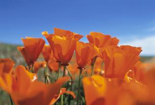 カリフォルニアポピーの写真素材 [FYI03990335]