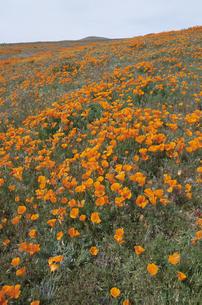 カリフォルニアポピーの写真素材 [FYI03990341]