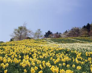 水仙と桜 北桧山の写真素材 [FYI03990390]