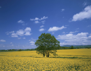 菜の花畑に囲まれた樹の写真素材 [FYI03990419]