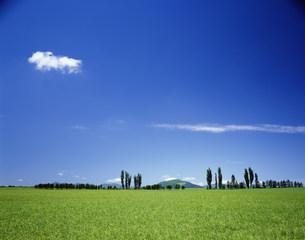 羊ヶ丘のポプラと草原の写真素材 [FYI03990485]