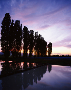 北大ポプラ並木と夕焼けの写真素材 [FYI03990503]
