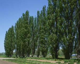 北大ポプラ並木の写真素材 [FYI03990505]