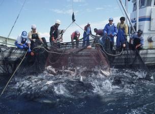 サケ漁の写真素材 [FYI03990518]