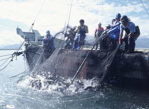 サケ漁の写真素材 [FYI03990521]