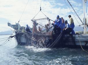 サケ漁の写真素材 [FYI03990522]