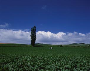 ポプラとビート畑の写真素材 [FYI03990715]