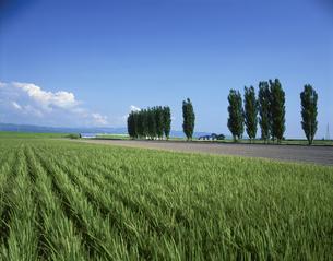 ポプラ並木と稲田の写真素材 [FYI03990728]