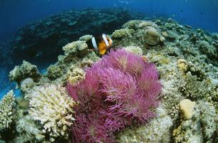 サンゴ礁とイソギンチャクの写真素材 [FYI03991053]