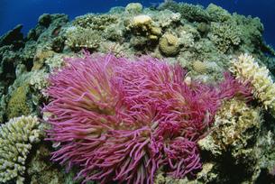 サンゴ礁とイソギンチャクの写真素材 [FYI03991056]