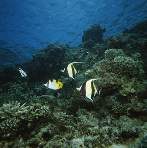 スダレチョウチョウウオツノダシ インド洋の写真素材 [FYI03991095]