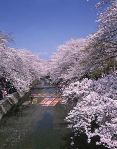 五条川の桜とのんぼり洗いの写真素材 [FYI03991486]