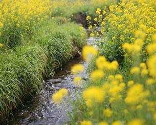 春の小川 筑後川支流の写真素材 [FYI03991715]