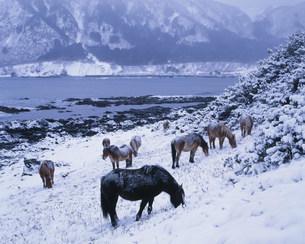 尻屋崎の寒立馬の写真素材 [FYI03991735]