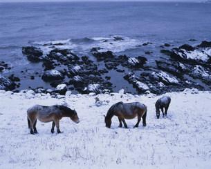 尻屋崎の寒立馬の写真素材 [FYI03991736]