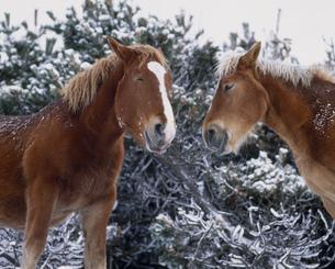 尻屋崎の寒立馬の写真素材 [FYI03991745]