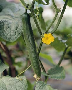 胡瓜と花の写真素材 [FYI03991968]