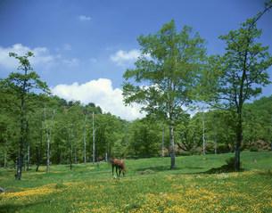 赤城山 キンポウゲ咲く白樺牧場の写真素材 [FYI03991970]