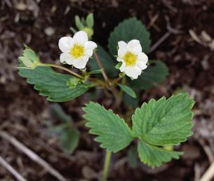 イチゴの花の写真素材 [FYI03991979]