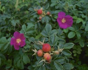 ハマナスの実と花の写真素材 [FYI03991991]