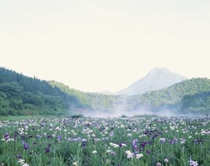 朝霧の神楽女湖の花菖蒲と由布岳の写真素材 [FYI03991993]